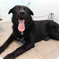 Flat-Coated Retriever Mix Dog for adoption in Beverly Hills, California - JASPER  A5082957 @ Lancaster S