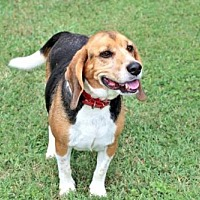 Beagle Dog for adoption in Sussex, New Jersey - BAYOU