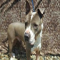 Pit Bull Terrier Dog for adoption in Fairfield, California - STERLING