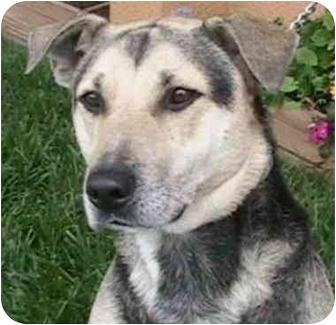 German Shepherd Dog Mix Dog for adoption in Berkeley, California - Stony