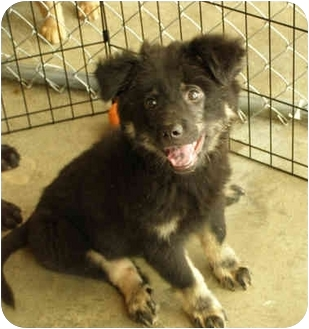 Labrador Retriever/Leonberger Mix Puppy for adoption in Stafford Springs, Connecticut - Boo