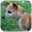 Photo 2 - Jack Russell Terrier/Chihuahua Mix Dog for adoption in Old Bridge, New Jersey - Precious