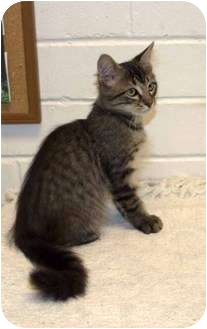 Domestic Longhair Kitten for adoption in New Port Richey, Florida - Avery