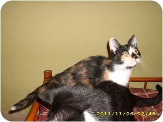 Calico Kitten for adoption in Simpsonville, South Carolina - Renne