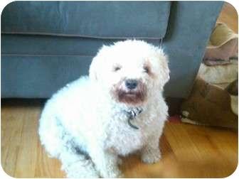 Schnauzer (Miniature)/Poodle (Miniature) Mix Dog for adoption in Palmyra, Wisconsin - Gandolf