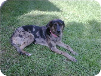 Catahoula Leopard Dog Mix Dog for adoption in Hammond, Louisiana - Shadow
