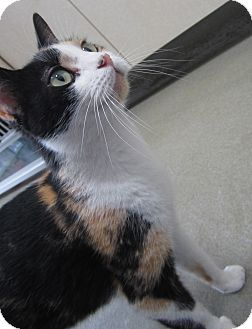 Domestic Shorthair Cat for adoption in Westminster, California - Diamond