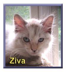 Birman Kitten for adoption in Aldie, Virginia - Ziva