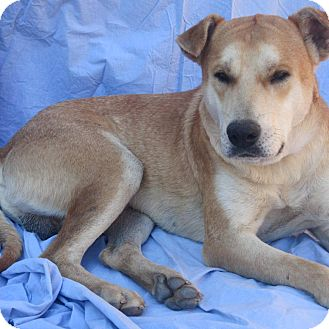 Labrador Retriever/Shepherd (Unknown Type) Mix Dog for adoption in Poway, California - DUDLEY