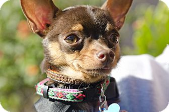 Miniature Pinscher/Chihuahua Mix Dog for adoption in Redondo Beach, California - Ricky