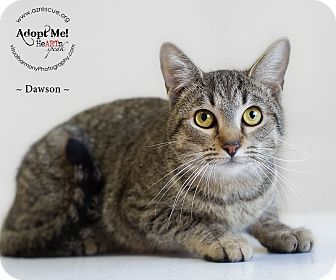 Domestic Shorthair Cat for adoption in Phoenix, Arizona - Dawson