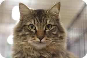 Siberian Cat for adoption in Sacramento, California - Cashew