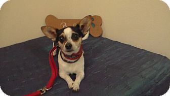 Jack Russell Terrier/Chihuahua Mix Dog for adoption in Reno, Nevada - Glinda