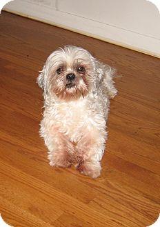 Shih Tzu Mix Dog for adoption in Cincinnati, Ohio - Mickey