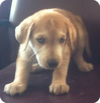 Husky/Australian Shepherd Mix Puppy for adoption in Columbus, Nebraska - Puppy #2