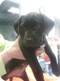 Labrador Retriever Mix Puppy for adoption in Barnegat, New Jersey - Joon