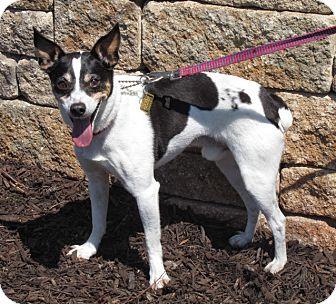 Rat Terrier Mix Dog for adoption in Overland Park, Kansas - A063363 Petey