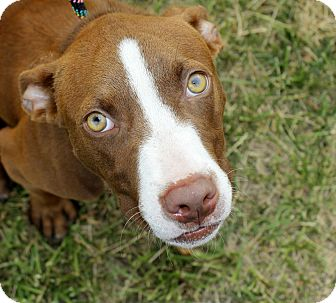 American Pit Bull Terrier Mix Puppy for adoption in Reisterstown, Maryland - Jimmy
