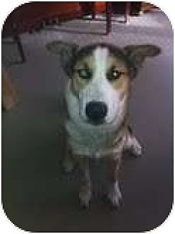 Shepherd (Unknown Type)/Husky Mix Dog for adoption in Medford, Massachusetts - Scout