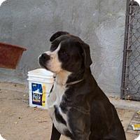 Adopt A Pet :: Savannah - Lucerne Valley, CA