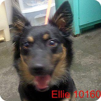 Corgi/Collie Mix Dog for adoption in Manassas, Virginia - Ellie