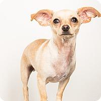 Adopt A Pet :: Molly..sweet and adorable! - Redondo Beach, CA