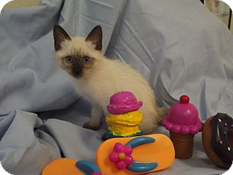 Siamese Kitten for adoption in Marshall, Texas - Cam