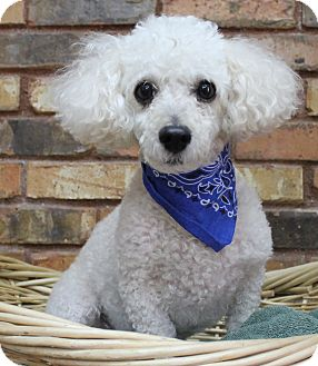 Poodle (Miniature) Mix Dog for adoption in Benbrook, Texas - Toby