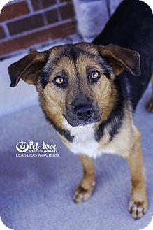 German Shepherd Dog/Beagle Mix Dog for adoption in Cincinnati, Ohio - Scarlett