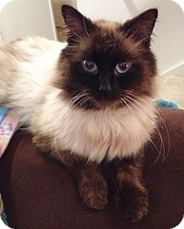 Domestic Longhair Cat for adoption in North Highlands, California - CharlieB