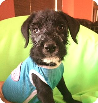 Terrier (Unknown Type, Medium) Mix Puppy for adoption in Corona, California - MICKEY
