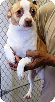 Terrier (Unknown Type, Small) Mix Dog for adoption in McDonough, Georgia - Ajax