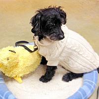 Cockapoo Mix Dog for adoption in Creston, British Columbia - Toby
