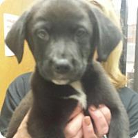 Adopt A Pet :: hannah - South Dennis, MA