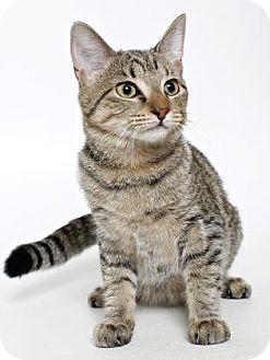 Domestic Shorthair Kitten for adoption in Gloucester, Virginia - OLIVE