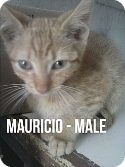 Domestic Shorthair Kitten for adoption in Glendale, Arizona - MAURICIO