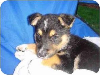 Australian Shepherd Mix Puppy for adoption in Northville, Michigan - Sydney