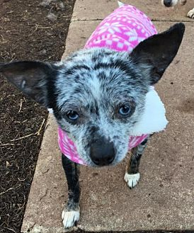 Chihuahua Dog for adoption in Southeastern, Pennsylvania - Taisie