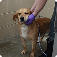Shepherd (Unknown Type) Mix Dog for adoption in Pikeville, Kentucky - Bob Tail