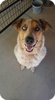 Australian Cattle Dog/Border Collie Mix Dog for adoption in Apache Junction, Arizona - Lilly