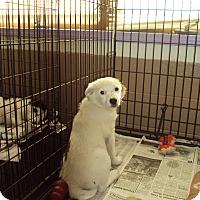 Australian Shepherd Dog for adoption in Jamestown, Tennessee - Sierra