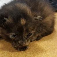 Adopt A Pet :: kitten - Mesquite, TX