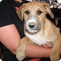 Adopt A Pet :: MIXED LAB PUPS C - Corona, CA