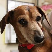 Adopt A Pet :: Daisy - Waco, TX