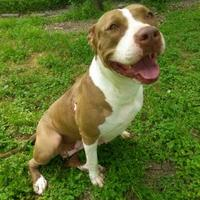American Pit Bull Terrier Mix Dog for adoption in Converse, Texas - ANNABELLA