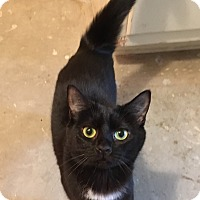 Domestic Shorthair Cat for adoption in Butner, North Carolina - Bella
