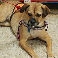 Adopt A Pet :: Miss Maya - Fishers, IN