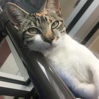 Adopt A Pet :: TIGGY - Houston, TX