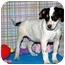 Photo 1 - Australian Cattle Dog/Australian Cattle Dog Mix Puppy for adoption in Broomfield, Colorado - Bruce Willis