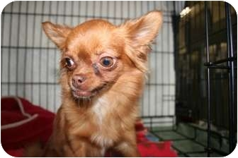 Chihuahua Mix Dog for adoption in Meridian, Idaho - Gidget
